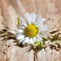 flower- Fatherheart - France