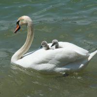 swan-Fatherheart - france