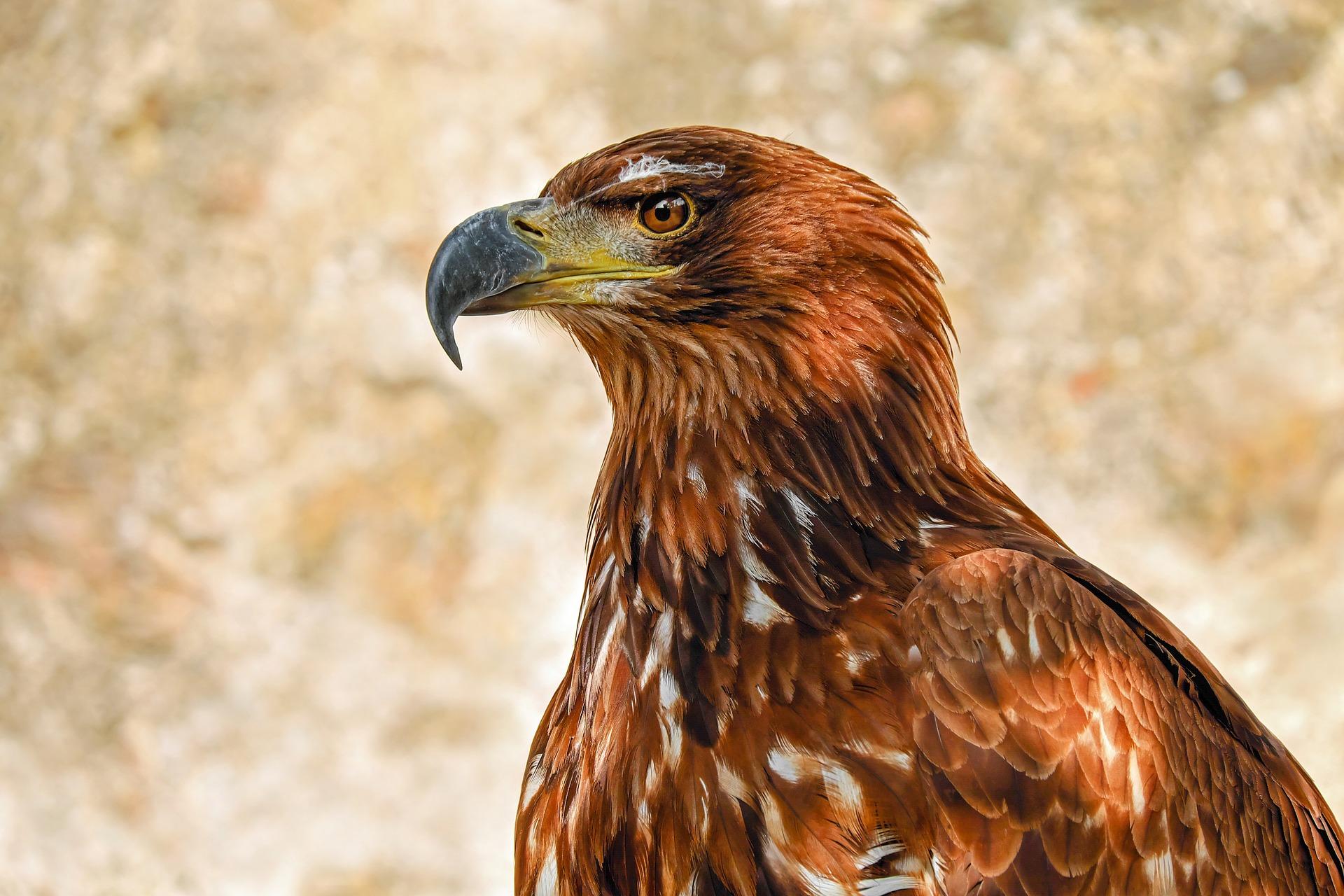 of-prey-eagle-Fatherheart France