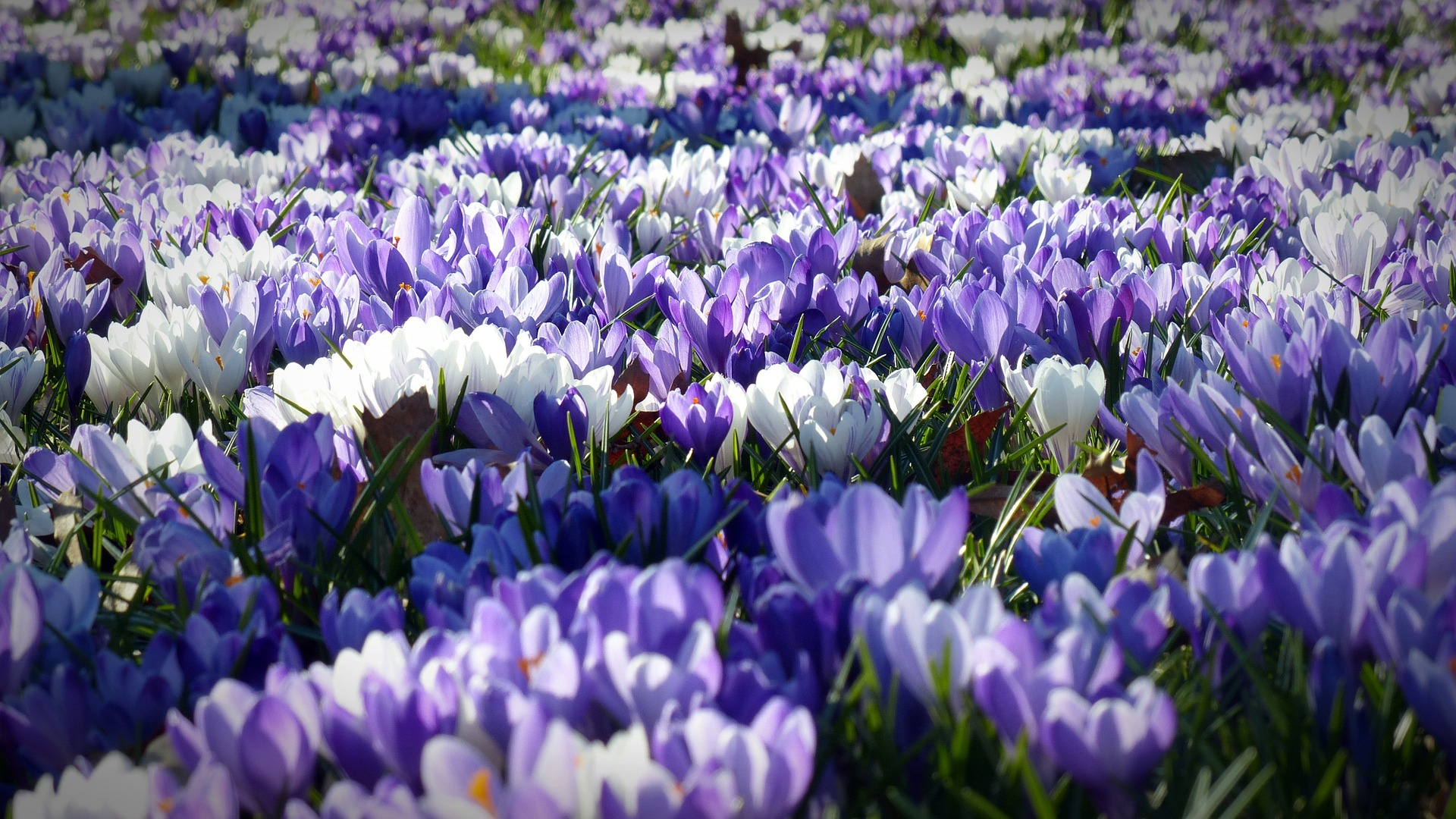 crocus-Fatherheart - France