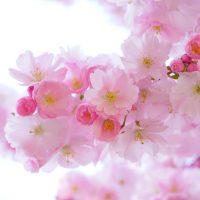japanese-cherry-trees-Fatherheart-France
