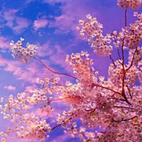 cherry-blossom-Fatherheart-France