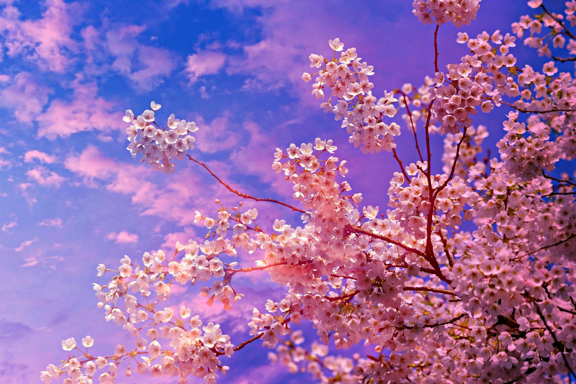 cherry-blossom-Fatherheart-France
